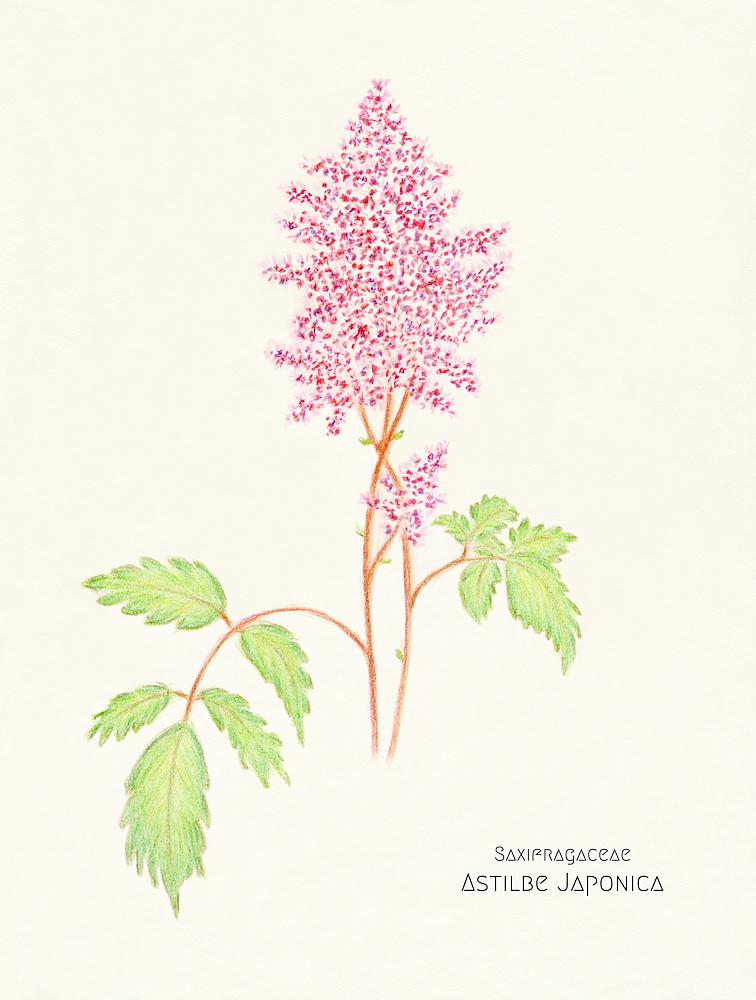 blumenskizzen-astilbe-japonica004-koken.png